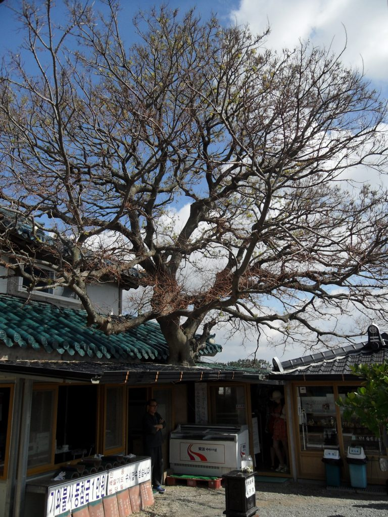 A house built around a tree, near Anmyeon Island, Korea