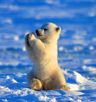 Cute baby polar bear